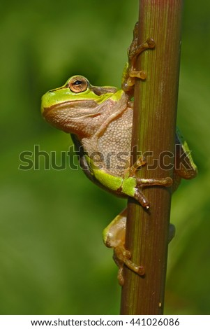 Nice green amphibian European tree frog, Hyla arborea, sitting on grass with clear green background. Beautiful amphibian in the nature water grass habitat. European tree frog in the forest. - stock photo