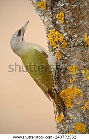 Nice green bird Grey-headed Woodpecker sitting on the tree trunk with yellow lichen - stock photo