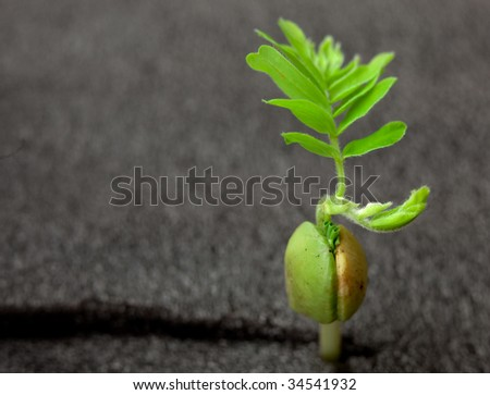 nice green sprout of tamarind tree close up on black