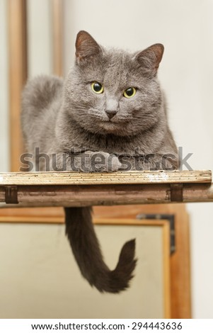 Nice grey cat with expressive eyes sitting on stepladder
