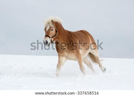 Nice Haflinger horse running  - stock photo