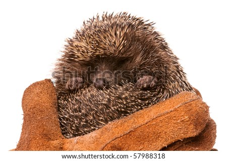 Nice hedgehog animal in hands isolated on white background - stock photo