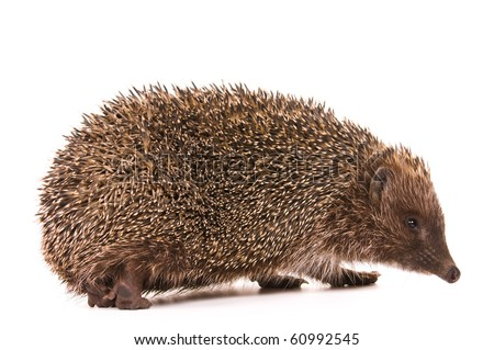 Nice hedgehog animal isolated on white background - stock photo