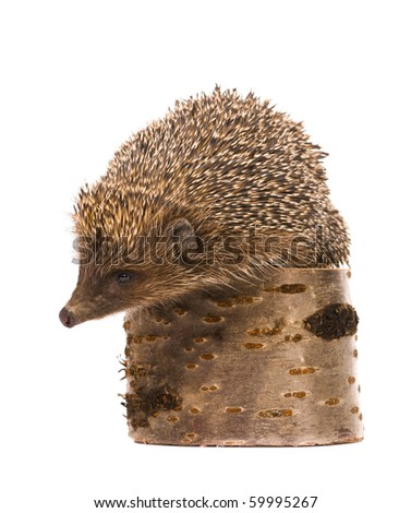 Nice hedgehog animal on stump isolated on white background