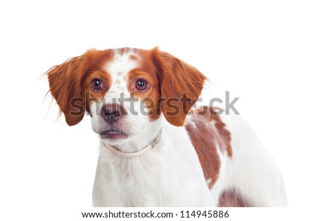 Nice hunting dog isolated on white background - stock photo