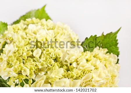 nice hydrangea - stock photo