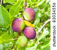 Nice image of a bunch of plums ripening on a tree - stock photo