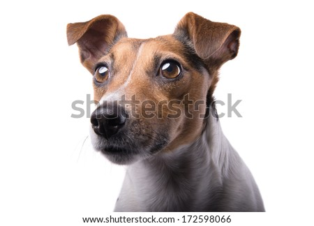 Nice Jack Russel terrier dog is isolated on a white background. Animal portrait. Playful dog is on a white background. Collection of funny animals