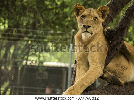 nice lion sitting on a tree on Mauritius island, Casela park - stock photo