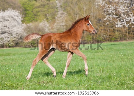 Nice little arabian foal running on pasture - stock photo