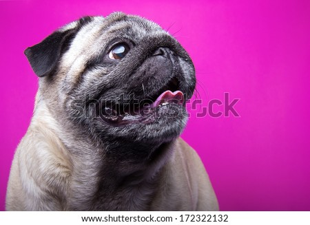 Nice mops dog is isolated on a pink background. Animal portrait. Playful dog is on a colorful background. Collection of funny animals - stock photo