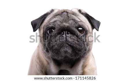 Nice mops dog is isolated on a white background. - stock photo