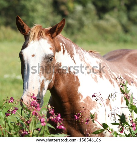 Nice paint horse mare behind some purple flowers - stock photo
