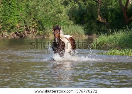 Nice paint horse running - stock photo