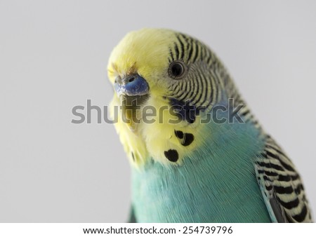 nice parrot perus on white background - stock photo