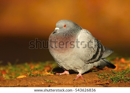 Nice pigeon in autumn