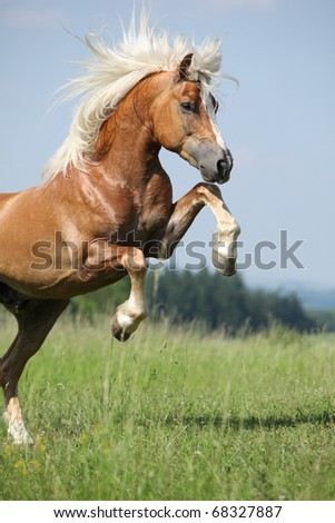 Nice prancing Haflinger stallion - stock photo