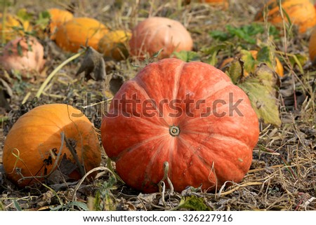 Nice pumpkins on agricultural field - stock photo