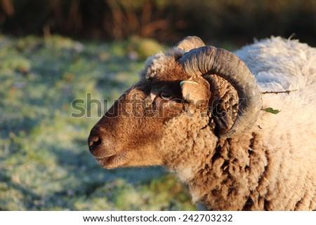 Nice ram sheep portrait - stock photo