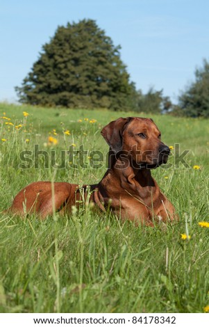 Nice rhodesian ridgeback lying in the grass - stock photo