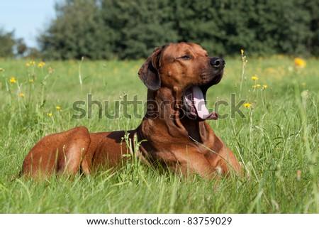 Nice rhodesian Ridgeback lying in the grass and yawning - stock photo