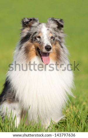 Nice Sheltie posing on field - stock photo