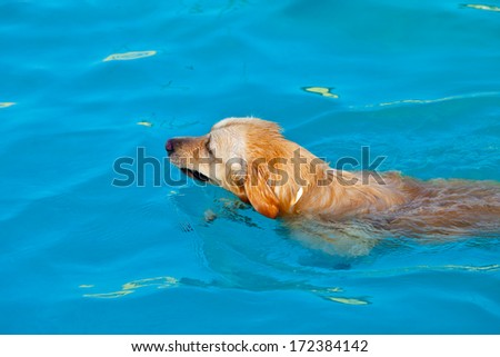 Nice specimen of dog of the race Golden Retriever swimming on a  swimming pool - stock photo