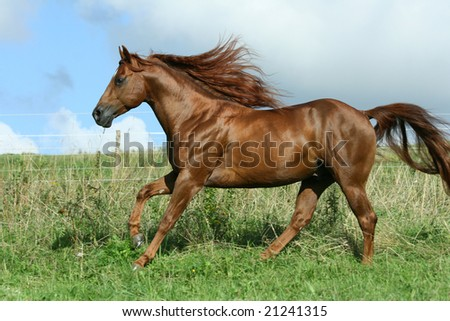 Nice stallion with long hair running - stock photo