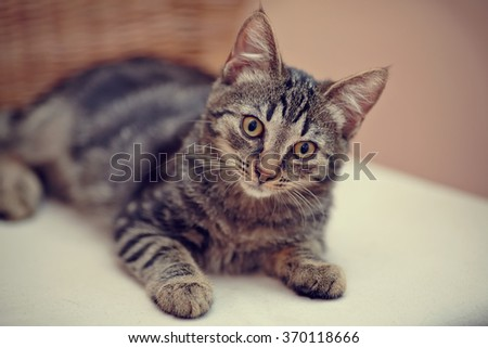 Nice striped domestic kitten domestic kitten with yellow eyes.