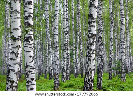 nice summer birch forest in Russia - stock photo