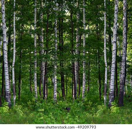 nice summer birch forest landscape in Russia