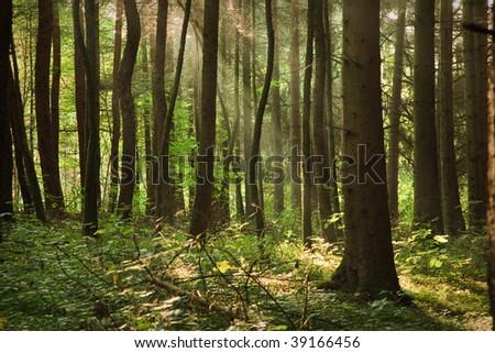 Nice sunbeams shining through the Scots Pines. - stock photo