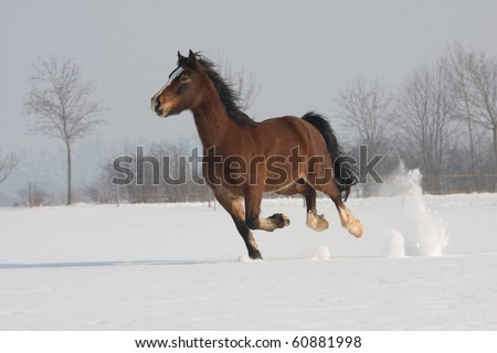 Nice welsh pony running - stock photo