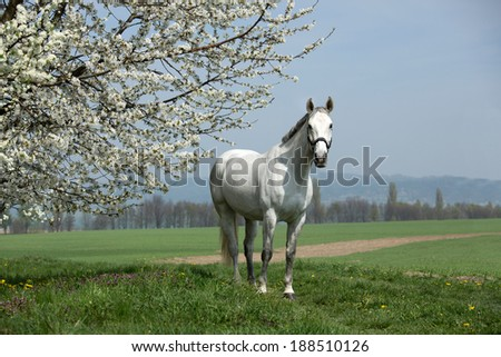 Nice white horse posing with blossoming tree - stock photo