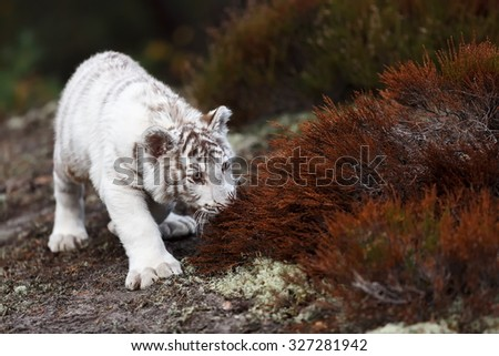 nice white tiger - stock photo