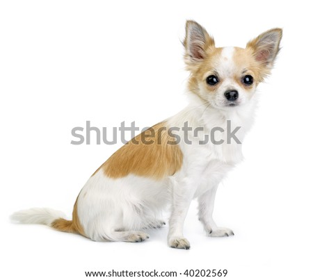 nice white with red chihuahua portrait sitting isolated