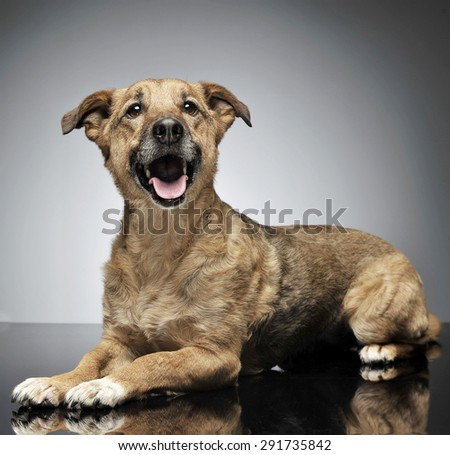 nice wired hair brown dog relaxing in gray background