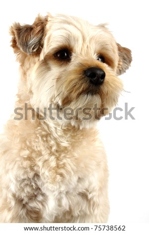 Nice yorkshire boy in white background - stock photo