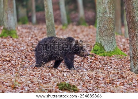 nice young brown bear - stock photo