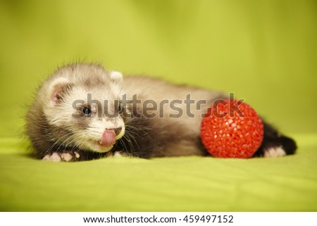 Nice young ferret portrait with red toy in studio - stock photo
