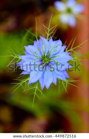 Nigelle de damas stock photos royalty free images - Nigelle de damas ...