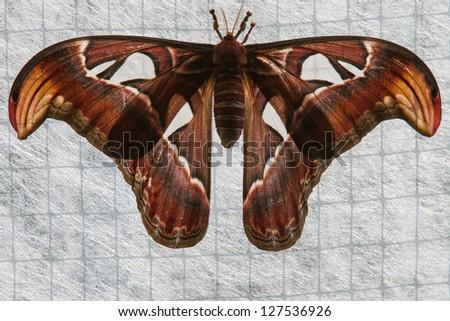 night Atlas moth (Attacus) - stock photo