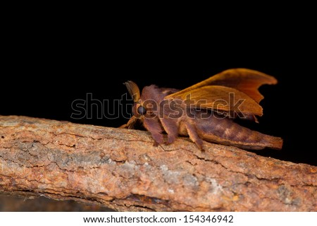 Night Moth - stock photo