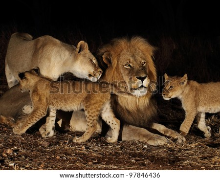 Night of the lions. Family of lions. - stock photo
