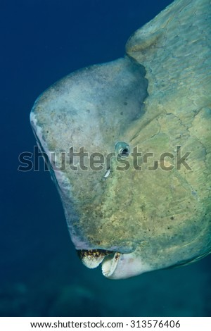 Night shot of huge bumphead parrotfish (Green humphead parrotfish) off the black lava sand beach at Tulamben near wreck of the Liberty with blue sky background, looking at camera showing dirty teeth