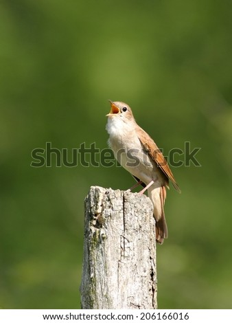 Nightingale perched on wooden bar against green background, singing - stock photo