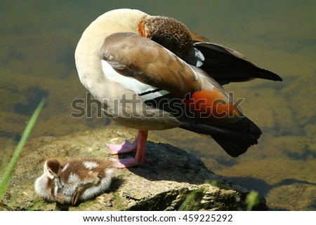 Nil goose with gosling - stock photo