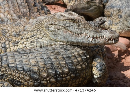 Nile Crocodile at waters edge/Crocodile/Nile Crocodile (Crocodylus Niloticus)