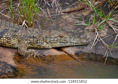 Nile crocodile (crocodylus noloticus) on riverbank in Hluhluwe-iMfolozi Game Reserve KwaZulu Natal region of South Africa - stock photo