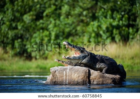 Nile crocodile. Two crocodiles , having opened from a heat to graze, sit on one big stone in the middle of sources of Nile. - stock photo